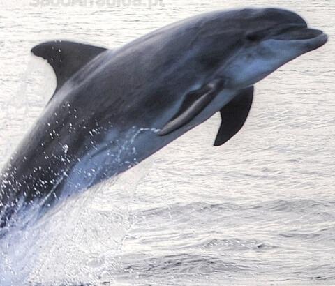 Observação dos Golfinhos do Sado